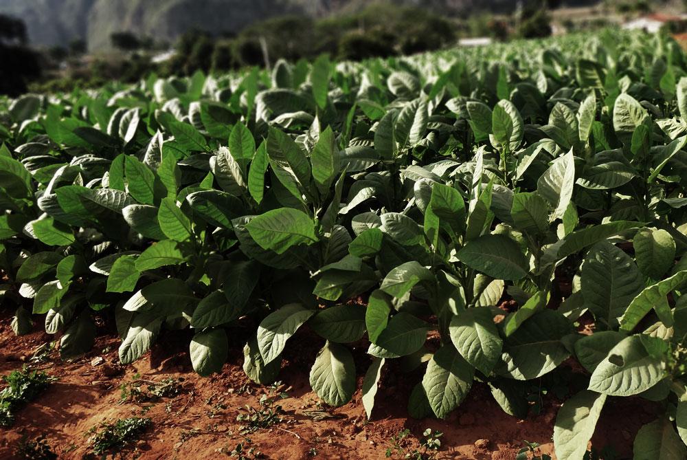 Wachsmann-1-tobaccoman-11web.jpg